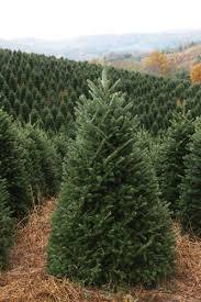 Artificial Fraser Fir Christmas Tree Sale by Buy Live Fraser Firs North Carolina Christmas Tree Farms