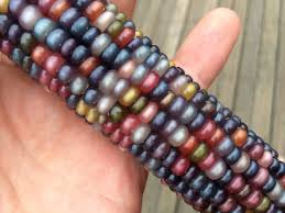Amazon.com : Glass Gem Cherokee Indian Corn Heirloom Premium Seed ... Prettiest Popcorn I Ever Did Grow The Unfettered Fox Glass Gem Corn Littlegirlstory Glass Gem Corn The Cover Of Our Whole Seed Catalog Carls Flint Is An Unbelievably Stunning Bred By Part Hdenosaunee The Iroquois Confederacy Tuscarora White Oliveloaf Design Afbeeldingsresultaat Voor Peru Brazil Colored Pinterest 9 Best Sweetcorn Images On Color 2 Cob And Maze Story Behind Business Insider 1293 Indian Fruit Pink Popcorn