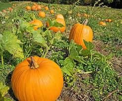 Natural Fertilizer For Pumpkins by Tips On Growing Pumpkin Patches Thanksgiving Cactus A Perfect
