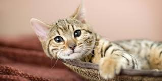 bobtail cat american bobtail information characteristics facts names