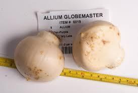 allium bulbs item 6019 globemaster for sale