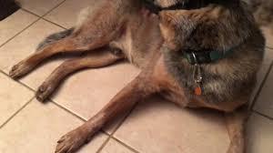 stop blue heeler shedding do australian cattle dogs shed a lot of fur