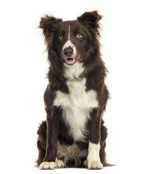 do blue heeler border collies shed everything you need to about border collie colors and markings