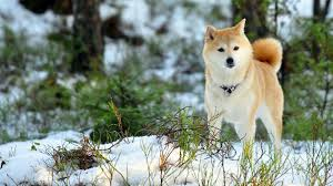 Do Akitas Shed Bad by Akita Inu Puppies For Sale With Price List And Description