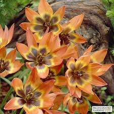 princess wildflower tulip bulbs tulipa princess