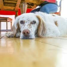 Dog Urine On Hardwood Floors Odor by How To Remove Dog Urine Smell From Hardwood Floors Urine Smells