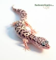 Do Baby Leopard Geckos Shed by Geckos Archives Backwater Reptiles Blog