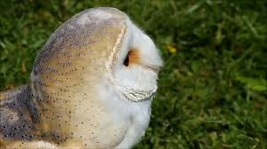 Birds Of Prey Barn Owl - YouTube White And Brown Barn Owl Free Image Peakpx Sd Falconry Barn Owl Box Tips Encouraging Owls To Nest Habitat Diet Reproduction Reptile Park Centre Stock Photos Images Alamy Bird Of Prey Tyto Alba Video Footage Videoblocks Barn Owl Tyto A Heart Shaped Face Buff Back Wings Bisham Group Bird Of Prey Clipart Pencil In Color British Struggle Adapt Modern Life Birdguides Beautiful Owls Pulborough Brooks The