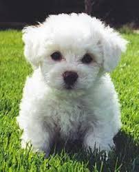 non shedding dogs small dog pet photos gallery j76kpml2gr