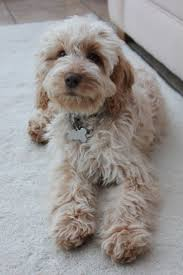 Cavapoos Do They Shed by Best 25 Cockapoo Ideas On Pinterest