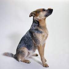 characteristics of blue heelers dog care the daily puppy