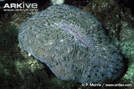 Mushroom coral videos photos and facts Fungia scutaria