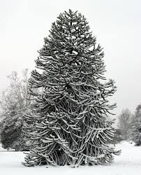 Royal Douglas Fir Artificial Christmas Tree by File Monkey Puzzle Tree In Snow At Kew Jpg Wikimedia Commons