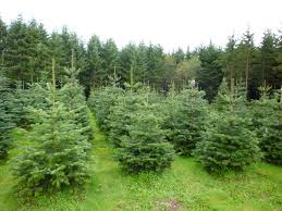Christmas Tree Species For by About The Farm Bowen Tree Farm