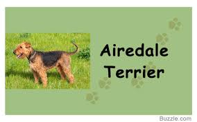 Do Airedale Puppies Shed by Guard Dogs That Don U0027t Shed How Many Do You Know