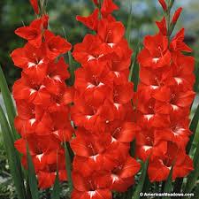 traderhorn gladiolus american