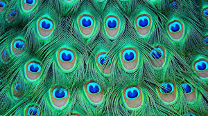 Color Peacock Feathers Wallpapers Background Bird