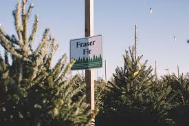 Fraser Fir Christmas Trees Nc by Christmas Trees In Leland Patrick Tucker From Mahogany Rock Tree