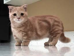 munchkins cats all about the munchkin cat breed cats around the globe