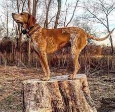 Do Treeing Walker Coonhounds Shed by American English Coonhound Dog Breed Information Pictures