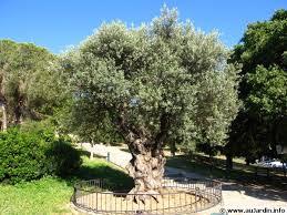 un olivier dans le nord de la