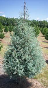 Types Of Christmas Trees To Plant by Types Of Trees Grown In Texas Wintergreen Christmas Tree Farm