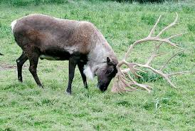 Moose Shedding Their Antlers by The Differences Between Antlers And Horns The Infinite Spider