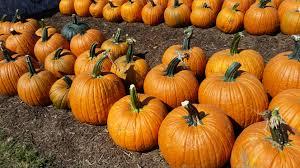 Jumbos Pumpkin Patch Groupon by Jumbo S Pumpkin Patch Groupon Chicago