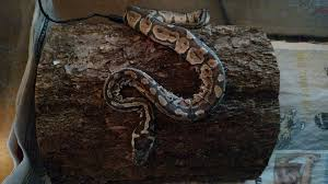 Ball Python Shedding Eating by Ball Python Having Trouble Shedding