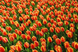 tulip jumbo darwin apeldoorn elite dutchgrown