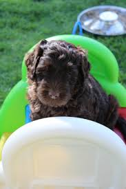 Non Shedding Small Dogs Australia by High Country Australian Labradoodles