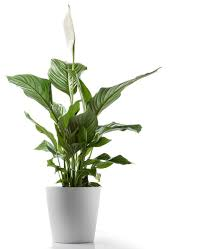 Best Plant For Your Bathroom by 5 Hard To Kill Houseplants For Apartments With Low Light
