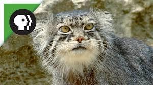 mountain cat grumpy faced cat is a mountain survivor