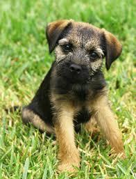 border terrier general features temperament health