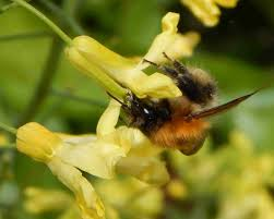 bee friendly plants fruit and vegetables