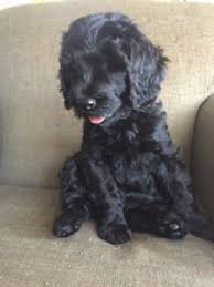 non shedding hypoallergenic hybrid dogs hypoallergenic puppy adopt local dogs puppies in toronto gta