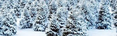Plantable Christmas Trees For Sale by Best Christmas Trees In Louisville St Matthews Feed U0026 Seed