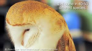 Barn Owls - 10 Facts About Me - YouTube Barn Owls On Oak Beam Uk Bird Small Mammal Taxidermist Mike Gadd Owl Family Clipart Night Owl Pencil And In Color Barn Baby By Disneyqueen1 Deviantart All Things Things You Always Wanted To Know About Keeping As Pets Portrait Of A During Falconry Traing Dubai Uae The Centre Staffvolunteers Gallery My Maltese Falcon A Day Falconry Speck The Globe 130109 130110 Wildlife Center Virginia Lydias Video Youtube