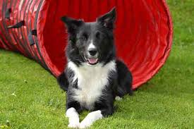 do blue heeler border collies shed is border collie shedding really that big a problem