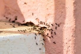 hausmittel gegen ameisen sanft und natürlich ameisen bekämpfen