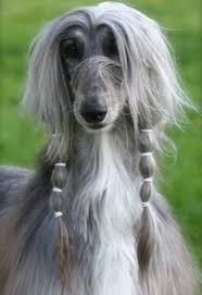 Big Lazy Non Shedding Dogs by Afghan Hound Dog Breed Information And Images K9rl