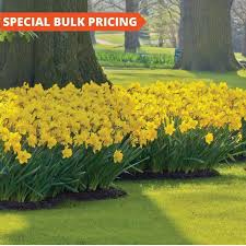 12 best bulbs images on daffodils tulip bulbs