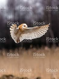 Beautiful Barn Owl Tyto Alba In Full Flight Stock Photo 497740644 ... Barn Owl Tyto Alba 4 Months Old Flying Stock Photo Image Beauty Of Bird Our Barn Owl The Tea Rooms Chat Rspb Community A Flying At Folly Farm In Pembrokeshire West Wales Winter Spirit By Hontor On Deviantart Audubon Field Guide Vector 380339767 Shutterstock Wallpaper 12x800 Hunting A Royalty Free Tattoos Tattoo Ideas Proyectos Que Debo Ientar