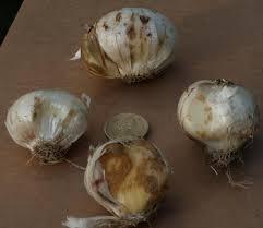 pacific bulb society allium hollandicum