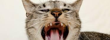 cat dental care cat dental care for healthy teeth petsmart