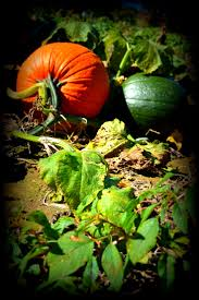 Half Moon Bay Pumpkin Patches 2015 by 121 Best Pumpkin Patch Images On Pinterest Fall Pumpkins Fall