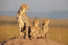 Did You See African Cats It Is Amazing And Helps The Animals