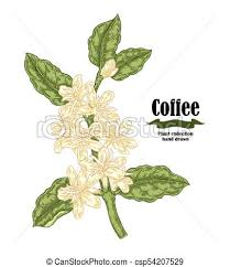 Hand Drawn Coffee Plant With Flowers And Leaves Vector Illustration In Sketch Sryle