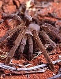 Do Tarantulas Shed Their Fangs by Australian Bird Eating Spider Habitat Diet U0026 Reproduction