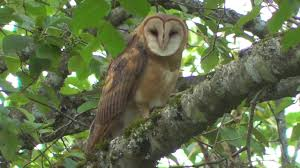 Huge Barn Owls In Surrey, BC 2017 - YouTube Barn Owl Perching On A Tree Stump Facing Forward Stock Photo The Owls Of Australia Australian Geographic Audubon Field Guide Beautiful Perched 275234486 Barred Owl Vs Barn Hollybeth Organics Luxury Skin Care Why You Want Buddies Coast News Group Sleeping By Day Picture And Sitting Venezuela 77669470 Shutterstock Rescue Building Awareness Providing Escapes And Photography Owls Owlets At Charlecote Park Barnaby The Ohio Wildlife Center
